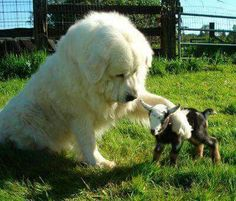 This is cute, since I have both a herd of goats and a Great Pyrenees.