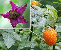 Rubus spectabilis(Salmonberry)