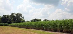 Our recent trip to South Louisiana would not have been complete without pictures of a sugarcane field. Sugar Sugar, Vineyard, Southern, Country Roads, Outdoor, Outdoors, Vine Yard, Vineyard Vines, Outdoor Games