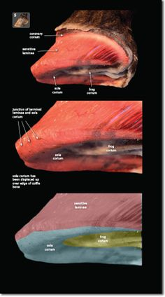Exploring Laminitis helps us to understand why the laminitic hoof remodels and how the underlying structures impact your job as a farrier. Dental Anatomy, Horse Anatomy, Bone Loss, Antique Christmas, Horse Training, Horse Stuff, Remodels, Donkey, Christmas Trees