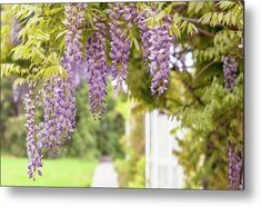 Romantic Walk In Wisteria Garden 1 Metal Print by Jenny Rainbow. All metal prints are professionally printed, packaged, and shipped within 3 - 4 business days and delivered ready-to-hang on your wall. Choose from multiple sizes and mounting options. Chinese Wisteria, Wisteria Garden, White Fence, Aluminium Sheet, Got Print, Any Images, Art Techniques, Fine Art Photography, Your Image