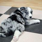 Speckle (pup) gender: female breed: Siberian husky border collie mix