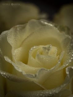 White rose by George Oancea on 500px