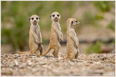 Meerkat pups standing outside burrow in Namib Desert.  Photo by Paul Souders | WorldFoto