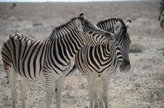 Zebras. Click to see more of Adorable Animal Pictures for Valentine's Day | Animals Zone