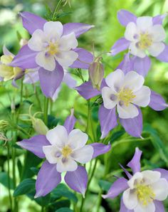 Colorado blue columbine • Aquilegia caerulea • Rocky mountain columbine • columbine, granny's bonnet • Plants & Flowers • 99Roots.com