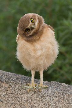 Tilting Owl - McCrain photography