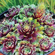 Sempervivum, Edging Plants, Foliage Plants, Succulents Garden, Garden Plants, Succulent Ideas, Succulent Gardening, Small Succulents, Plants Indoor