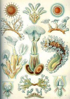 Bryozoans (moss–animals) by Ernst Haeckel from his Kunstformen der Natur, 1899. In the world of biology, there is plant, there is animal, and there is plant-animal. Specifically, moss–animals, the bryozoans