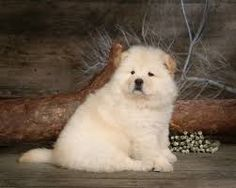 I LOVE CHOW CHOWS  Their so cute and fluffy  (i have one (of course))