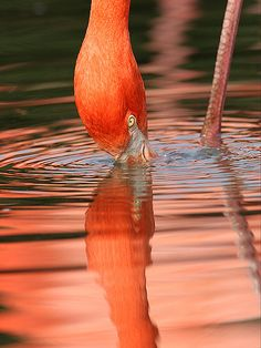 Flamingo reflection - ©Rob Lind - www.flickr.com/photos/roblind/461190634/in/photostream