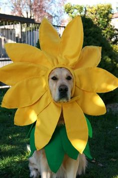 Hi sunshine. Golden retriever dressed as a golden sunflower.   My dog would be just as pissed as this guy!!