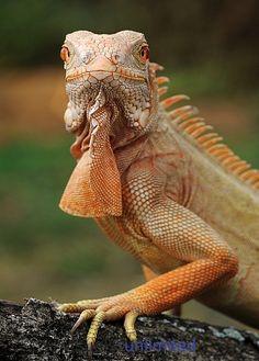 An albino Iguana (Iguana iguana) by Michael Kern
