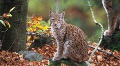 Un lynx des Balkans assis au milieu de la forêt nous fixe tendrement