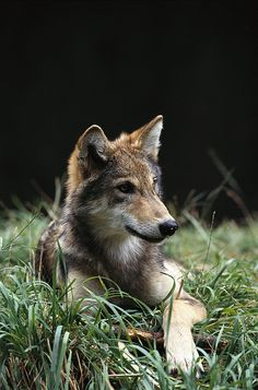 **Timber Wolf