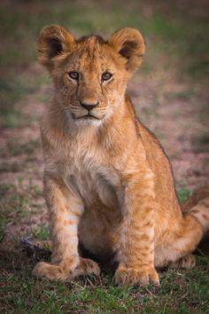 Lion cub by Ingo Knuth**