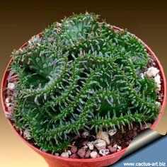 Euphorbia pugniformis forma cristata