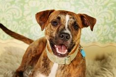 Cooper - I'm a 1-year-old pit bull mix in Nashville, Tennessee. I was running around on the streets having a grand old time when I got scooped up and landed in the slammer. It was cold and scary there, but the people were real nice and took me on walks and let me play in the yard sometimes.