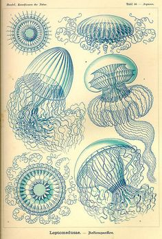 Ernst Haeckel's amazing biological prints - from Kunstformen der Natur (1904) - Jellyfish (the Leptomedusae)