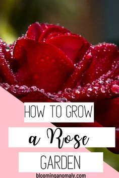 Do you love the smell and look of roses in a garden? Learn to grow your own rose bushes in this post! Click on the pin to grow roses for beginners. #growroses Beautiful Flowers Garden, Amazing Flowers, Gardening For Beginners, Gardening Tips, Floribunda Roses, Rose Care, Types Of Roses, Growing Roses, Hybrid Tea Roses
