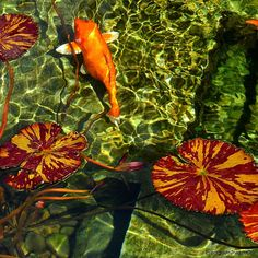 «Water Lilies and Koi in the Herb Garden Pool - Getty Villa - Los Angeles, California  #amateur_photographers_united #beautiful #California #Cali #love…»