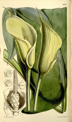 ~~ Botanical illustration of calla lilies from the Biodiversity Heritage Library Vintage Botanical Prints, Botanical Drawings, Botanical Art, Botanical Gardens, Calla Lillies, Calla Lily, Floral Illustrations, Illustration Art, Sibylla Merian