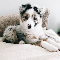 , Australian Shepherd Puppies: Bilder und Fakten - beauty that makes my soul won. , Australian Shepherd Puppies: Bilder und Fakten - beauty that makes my soul wonder - Cute Little Animals, Cute Funny Animals, Cute Pets, Funny Dogs, Funny Memes, Funny Videos, Cute Dogs And Puppies, I Love Dogs, Doggies