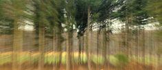 Naaldbomenrij (impressionistisch)