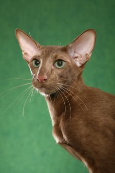 Charlie, a beautiful Cinnamon Oriental shorthair. Photo taken by Helmi Flick. One of our Compass Rose cattery Oriental Shorthairs.