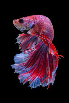 the MOUTH of a BETTA FISH is upturned this allows it to catch prey on the surface of the water (such as mosquito larvae and other small insects). The mouth of the betta does also contain tiny teeth. Pretty Fish, Beautiful Fish, Animals Beautiful, Colorful Fish, Tropical Fish, Poisson Combatant, Betta Fish Types, Fish Wallpaper, Beta Fish