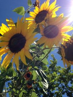 Here's some beautiful Sunflowers to brighten everyone day! These were watered with drip irrigation out in the DripWorks Demo Garden.