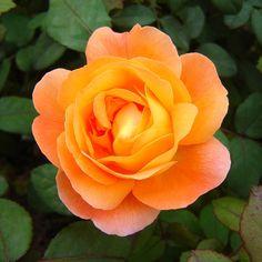 'Lady Emma Hamilton' | Shrub.  English Rose Collection.  David C. H. Austin (United Kingdom, 2005).