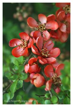 Quince Blossom by Alyson Fennell on 500px