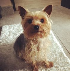 This adorable little thing you see here is a Yorkshire Terrier, and it is the…