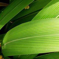 Setaria palmifoliaatSan Marcos Growers