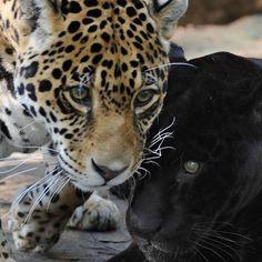 Dade City's Wild Things - Jaguars