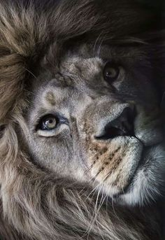 LUV MY LION PICS