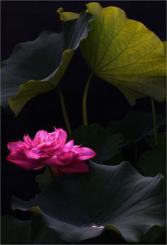 Lotus blossom. Exceptional photography by Bahman Farzad. The lighting is flawless, the dynamic range is perfect.