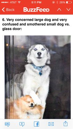 Some really cute and funny husky puppy memes are here to lighten your mood and save the day! These funny husky puppy pictures will delight you all. Dog Photos, Dog Pictures, Animal Pictures, Funny Pictures, Kitten Photos, Funniest Pictures, Hilarious Photos, Girl Photos, Animals And Pets