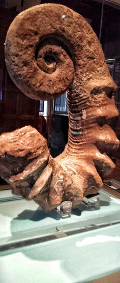 A large and unusual ammonite Ammonites are excellent index fossils, and it is often possible to link the rock layer in which a particular species or genus is found to specific geologic time periods. Their fossil shells usually take the form of planispirals, although there were some helically spiraled and nonspiraled forms (known as heteromorphs)