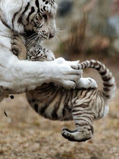 This tiger cub appears less than purr-fect as he leaps on his mothers head while playing. The enthusiastic white Bengal tiger cub was pictured clawing and jumped all over his tiring mother. The sprightly youngster played up to the crowds who had descended on Novosibirsk Zoo in Russia to catch a glimpse of the rare animals