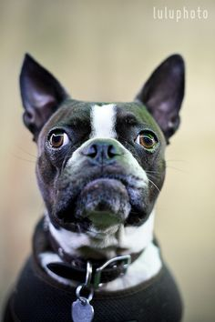 Handsome #BostonTerrier