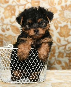 Jolly #Morkie Morkie Puppies, Lancaster Puppies, Puppies For Sale, Doggies, Animals, Little Puppies, Animaux, Animal, Animales