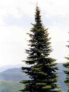 Photo of a subalpine fir tree