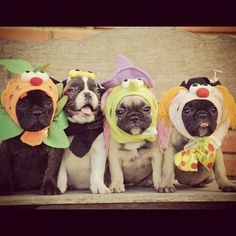"""Trick or Treat!"", French Bulldog Puppies in Costumes ❤❤"