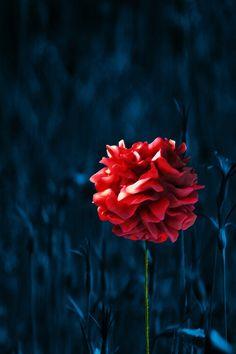 By Klara Acel #painting #photography #artwork #digitalart #art #mixedmedia #flower
