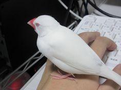 かばさん@文鳥lover(@sanrenkyuu)さん | Twitter