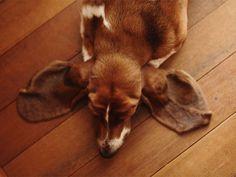 I think its a basset hound. If not, it still has basset hound ears! Love My Dog, Puppy Love, Baby Animals, Funny Animals, Cute Animals, Baby Dogs, Dogs And Puppies, Bassett Hound, Mans Best Friend
