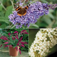 Buddleja Buzz - New! | Johnstown Garden Centre, Ireland