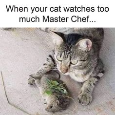 Does your cat watch Master Chef? Funny Food Memes, Cute Cat Memes, Funny Dog Captions, Memes Funny Faces, Funny Animal Memes, Dog Memes, Funny Animal Pictures, Funny Dogs, Funny Animals